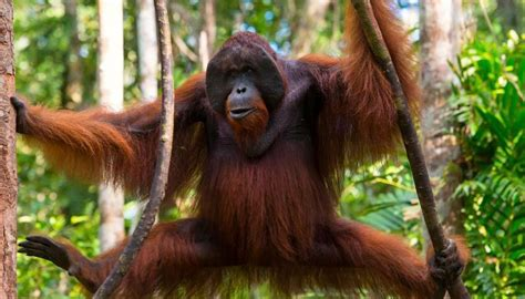 Russian man arrested trying to smuggle orangutan out of