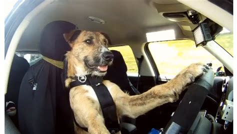 Dogs gone driving: Man's best friend hits the road in a