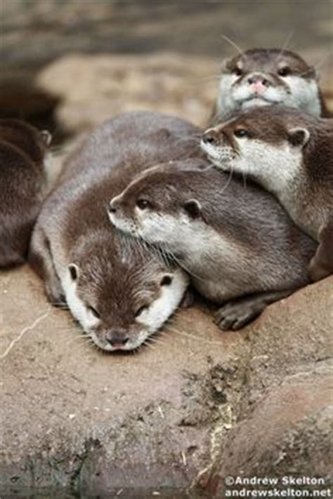 Otters / Sloths & Meercats on Pinterest | Baby Otters