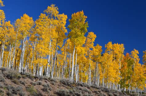 Picture of the Week: Pando, One of Earth's Largest Living